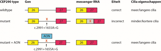 schematische afbeelding van de mest voorkomende CEP290-mutatie
