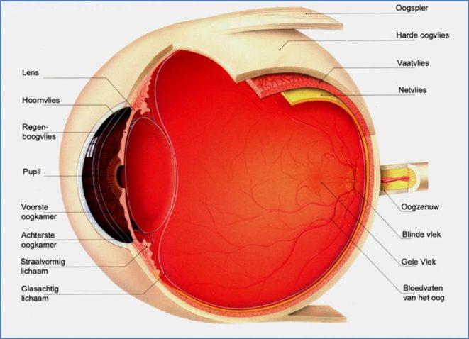 Dwarsdoorsnede van het oog
